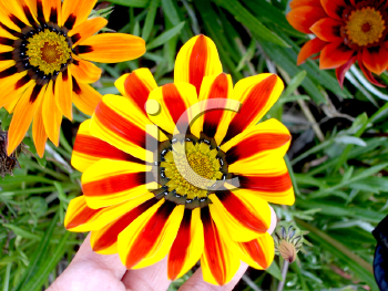 Royalty Free Photo of a Striped Daisy and Other Daisy-Type Flowers