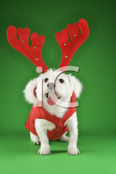 Royalty Free Photo of a White Terrier Dog Dressed in a Red Coat Wearing Antlers