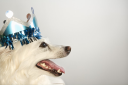 Royalty Free Photo of a Fluffy White Dog Wearing a Paper Crown