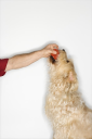 Royalty Free Photo of a Fluffy Dog Taking a Ball From a Man