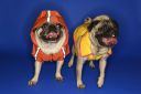 Royalty Free Photo of Pugs Wearing Hoodie Jackets