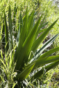 Royalty Free Photo of a Close-up of a Yucca Plant