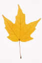 Royalty Free Photo of a Yellow Sugar Maple Leaf