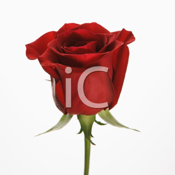 Royalty Free Photo of a Single Long-Stemmed Red Rose
