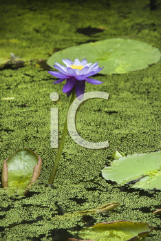 Royalty Free Photo of a Blooming Purple Water Lily, Australia