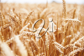 Close Up Of Wheat Crop Growing In Field