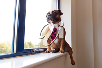 Bulldog Puppy Dressed As Businessman Wearing Collar And Tie Looking Out Of Office Window