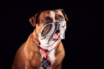 Studio Portrait Of Bulldog Puppy Wearing Tie Against Black Background
