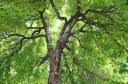 Royalty Free Photo of Looking Up Into a Stately, Old, Horse Chestnut Tree