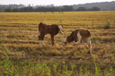 The calfs, grazed in field after harvesting