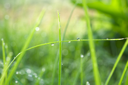Royalty Free Photo of Blades of Grass With Dewdrops