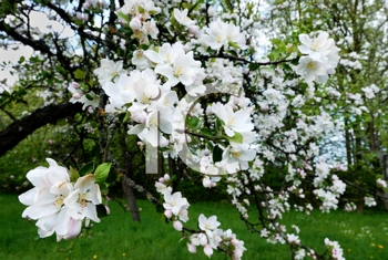 Royalty Free Photo of a Blossoming Apple Tree in Spring