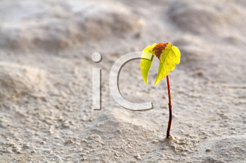 Royalty Free Photo of a Small Tree in a Desert