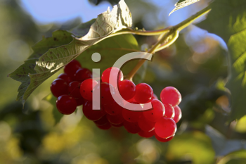 Royalty Free Photo of Viburnum on a Branch