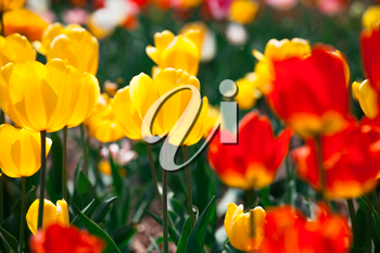 Royalty Free Photo of Tulips