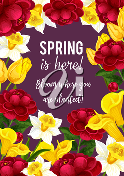 Spring is here quote and blooming flowers bouquet for seasonal springtime greeting card and wishes. Vector design of flourish hibiscus roses, callas blossoms and spring tulips