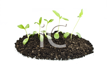 Royalty Free Photo of Sunflower Sprouts in Soil