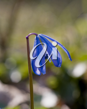 The macro of Snowdrop, shot in the forest in spring