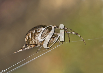 Closeup of large spider on cobweb (Shallow DOF). Useful for naturalists