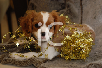 Royalty Free Photo of a Pup in Tinsel