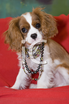Royalty Free Photo of a Spaniel Pup in Pearls