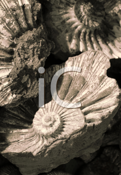 closeup of fossilized ammonites