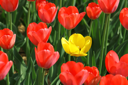 many beautiful red and single yellow tulips