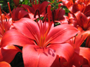 closeup of beautiful red lily flower