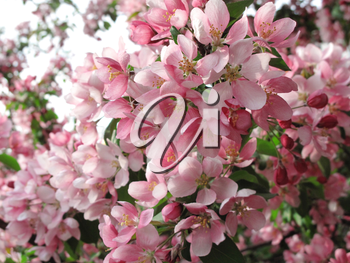 blossoming tree with beautiful pink flowers