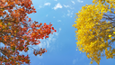 Branches of beautiful yellow and red autumn tree on blue sky background