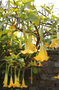 Blossom yellow brugmansia named angels trumpet or Datura flower