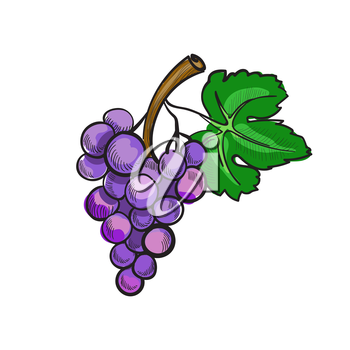 Illustration of hand drawn doodle grapes isolated on white background