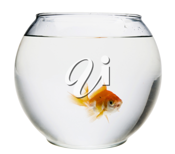Fish in a fishbowl isolated over white