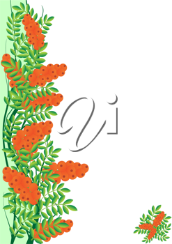 Branch with berries of sea buckthorn. The illustration on a white background.