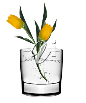 Two yellow tulips in a glass vase isolated over white background.