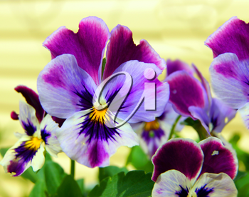 Flower pansy in garden.Very beautiful decorative flower