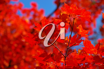 Red maple leaves as a background or concept of
