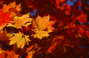 Yellow maple leaves on the forest background