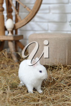 A small and curious white rabbit with blue eyes, jumping over dry hay in a studio with Easter decor. Studio photography
