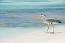 Royalty Free Photo of a Heron on a Maldivian Island