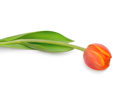 Beautiful orange tulip isolated on white background.Shallow focus