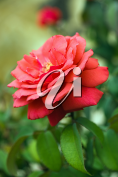 Beautiful red rose on the natural background.Shallow focus