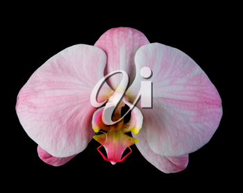 Pink orchid with streaks isolated on black background