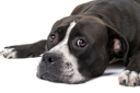Royalty Free Photo of a Staffordshire Terrier