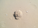 Royalty Free Photo of a Seashell in the Sand