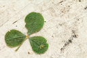Dry three-leafed clover on aged background with copy-space