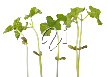 Group of the sprouts