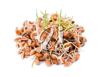 Sprouted wheat on white background