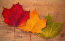 Maple leaves with different colors on wood background