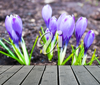Group of violet crocus near the walkway
